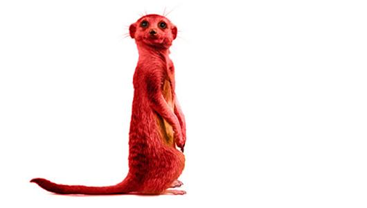Slider-surikat